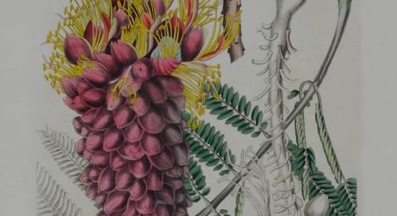 Korallenregen (Colvillea racemosa), altaquarellierter Kupferstich nach Prof. Wenceslas Bojer, Mauritius, aus: Curtis´ Botanical Magazine, 1834, Sammlung Frank, Stuttgart