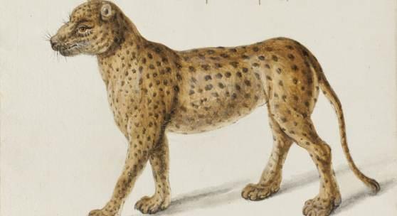 Frans Post, Jaguar, Haarlem, Noord-Hollands Archief, Master Drawings Volume 54, Number 3