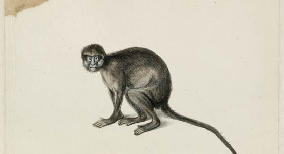 Moustached Guenon, Frans Post (1612–1680), watercolor and gouache, with pen and black ink, over graphite, c. 1638–1644, translated inscription: A blue-nosed monkey from Angola, one and a half feet large, are very angry and malicious. Noord-Hollands Archief, Haarlem, inv.nr. 53004665