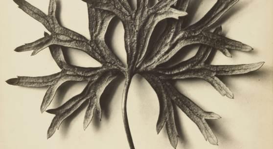 Karl Blossfeldt mit seiner charakteristischen, 1915 – 1920 entstandenen Aufnahme Aconitum anthora (Eisenhut).  Ergebnis: € 47.000 (Lot 4).
