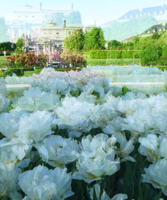weiße rosenbracht, 2019