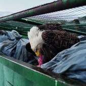 14. Februar 2017 Ein Weißkopfseeadler beim Fressen von Fleischabfällen im Müllcontainer eines Supermarkts in Dutch Harbour, Unalaska, Alaska, USA.  Corey Arnold