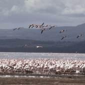 Flamingos am Lake Nakuru. ©Michel Terrettaz / WWF-Canon. Leihgabe WWF Schweiz.