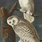 10256, Plate CXXI, Snowy Owl