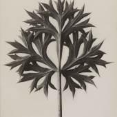 Karl Blossfeldt, Eryngium bourgatii. Mannstreu, vor 1928  Stiftung Ann und Jürgen Wilde, Pinakothek der Moderne, München