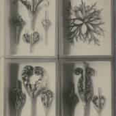 Karl Blossfeldt,Vier Herbarien mit präparierten Disteln und Rittersporn, o. J  Foto: Karl Blossfeldt | Stiftung Ann und Jürgen Wilde, Pinakothek der Moderne, München