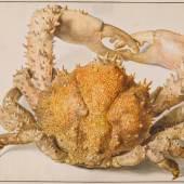 Jan van Huysum (1682–1749) Eine Krabbe, 18. Jahrhundert Aquarell auf Büttenpapier, 183 × 294 mm Städel Museum, Frankfurt am Main © Städel Museum