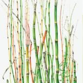 Annie Patterson - Equisetum 54 x 42 cm Aquarell