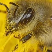 Biene mit Blütenstaub bedeckt