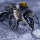 Biene mit RFID-Chip