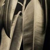 Aenne Biermann, Ficus elastica, 1926-28 Silbergelatine-Abzug, 46,7 x 35 cm Foto: Sibylle Forster Stiftung Ann und Jürgen Wilde, Pinakothek der Moderne, München