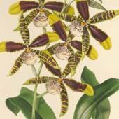 """Orchidee """"Odontoglossum grande"""" aus dem Sub tabula Werk """"The Orchidaceae of Mexico and Guatemala"""" von James Bateman, 1843 © Österreichische Nationalbibliothek"""