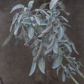 Sylvia Peter - Salvia officinalis